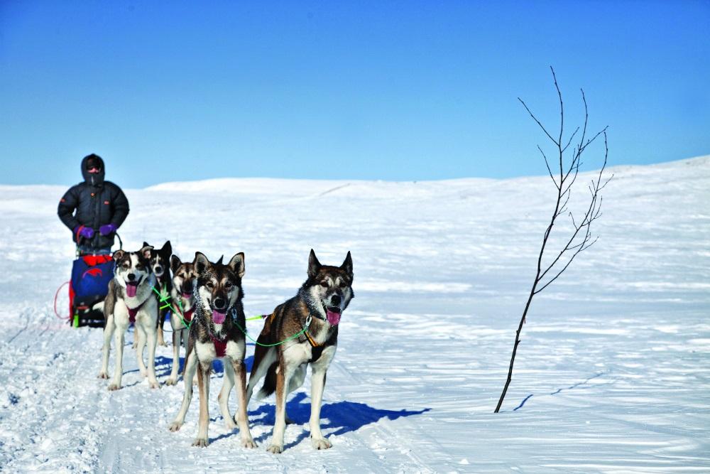 Psi zaprzęg w Norwegii / fot. Maria Brzezińska